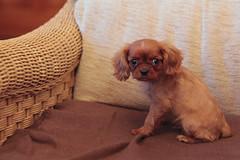 dog breed, animal, puppy, dog, pet, mammal, king charles spaniel, spaniel, cavalier king charles spaniel,