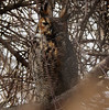 same great horned owl different roost