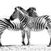 Super Symmetry - Zebras