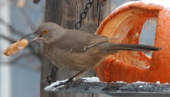 curve-billed thrasher with peanut