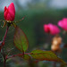 Rose d'Inverno.. by ennios2000