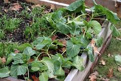baby broccoli IMG_1210