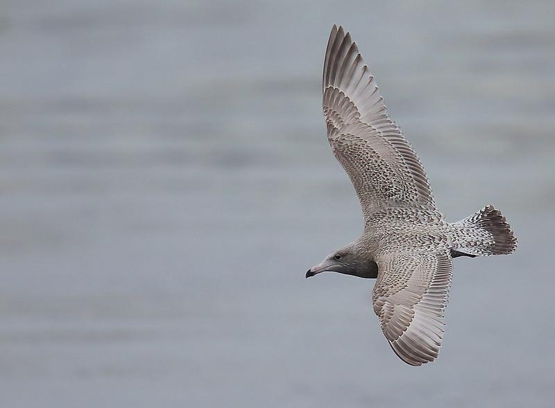 Viking Gull