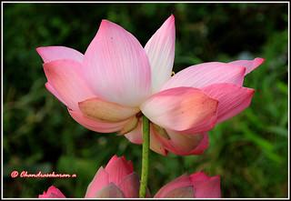 4929 - lotus
