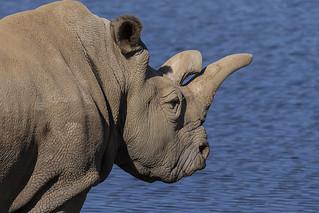 Critically Endangered Northern White Rhino
