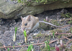 Wood Mouse - Apodemus sylvaticus