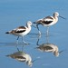 American Avocets by Elizabeth Yu