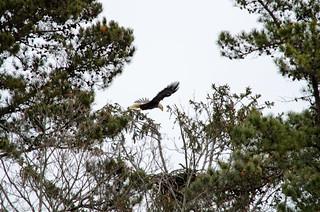 Eagle Spotting - XLII