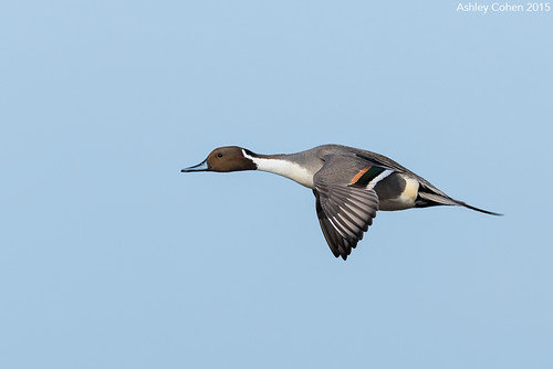 Male Pintail Duck - Darting Duck