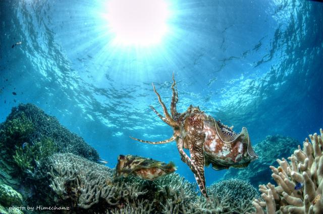 メスのコブシメが産卵中、オスは近くで見守っています。見てると温かい気持ちになりますよ♪