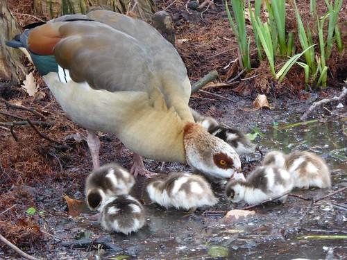 london kew geese wildlife richmond goose