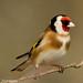Steglits, Carduelis carduelis, European Goldfinch