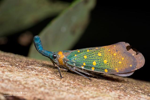 Lantern bug (Pyrops whiteheadi) - DSC_3551