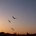 Dawn swan by kazuo0801