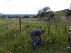 Collecting the pruned vine shoots
