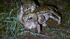Natterjack Toads (Epidalea calamita) male frenzy on a single female