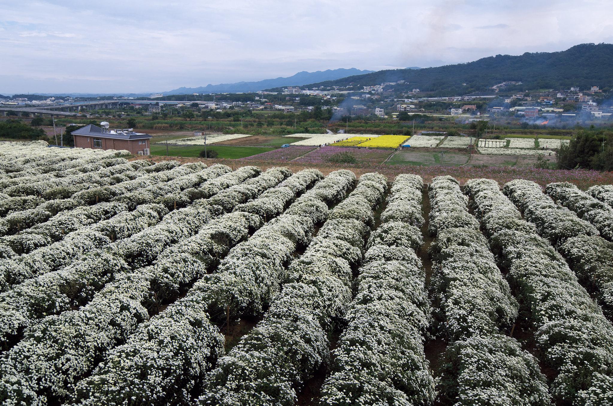 2014銅鑼杭菊芋頭節