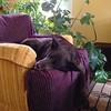 When she sits up she has Yoda ears. #chimay #doglove #naptime