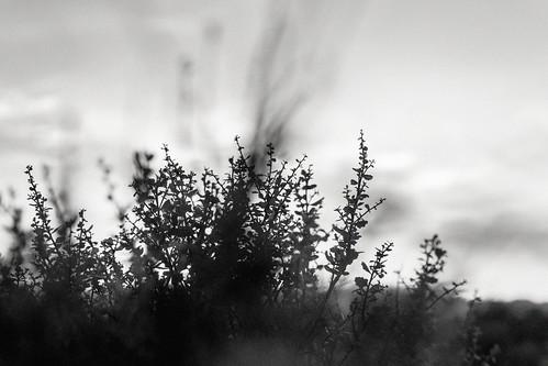 california sunset sky blackandwhite bw blur clouds bush unitedstates bokeh scrub redwoodcity hmbt nikon232 thishasonlyjustbegun