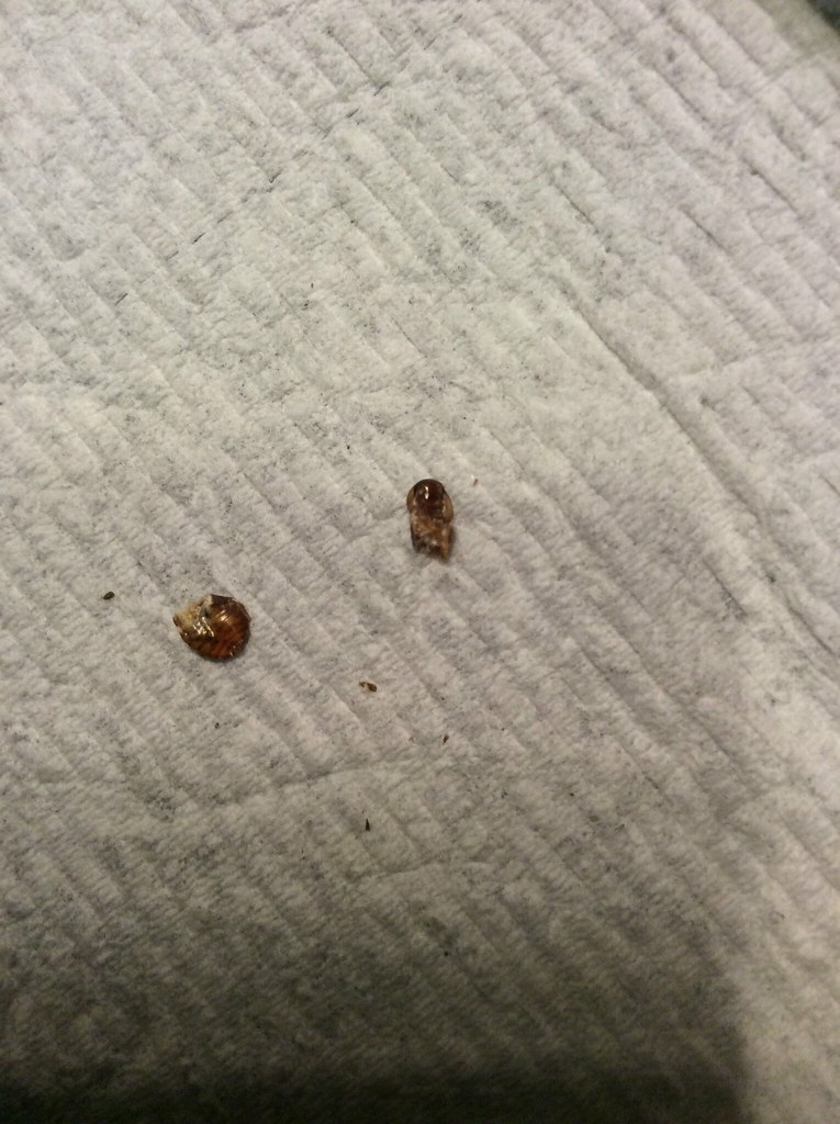 bed bug pictures identification bangdodo With bed bug species