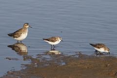 animal, charadriiformes, sea, fauna, red backed sandpiper, redshank, calidrid, sandpiper, beak, bird, seabird, wildlife,