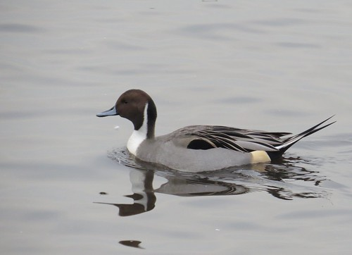 507 Male Pintail - Anas acuta