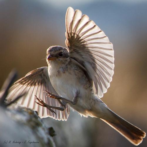 birds sonnenuntergang vögel songbird youngbird jungvogel redbackedshrike singvogel neuntöter winzlar vogelfliegend