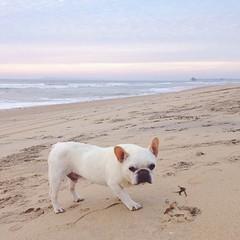 Beach walk. #henrihopper #frenchbulldog #frenchie #frenchbulldogsofinstagram #frogdog #buhi #beach #view #myib