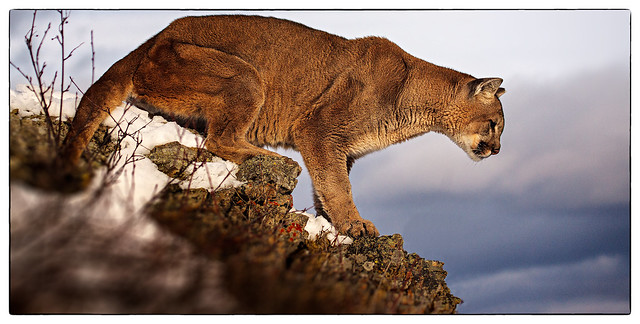 adult male cougar 003