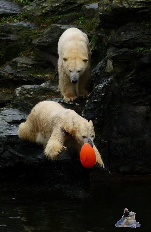 Tierpark Berlin Eisbären 20.12.2014 126