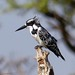Pied Kingfisher (John Perry)