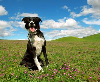 Border Collie Wildflowers