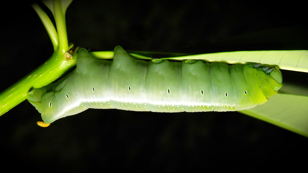 Oleander Hawk Moth Caterpillar (Daphnis nerii, Sphingidae)