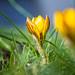Frühlingsbote by blichb