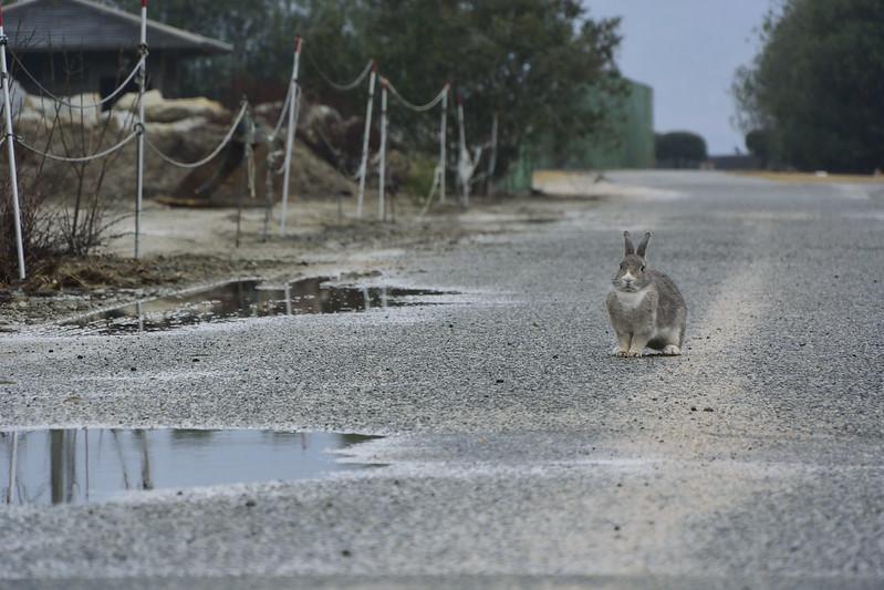 大久野島のうさぎたち