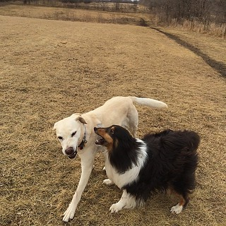 Jasper harassing his big sister. He obviously knows she is feeling better. #Jasper #Daisy #dogpark