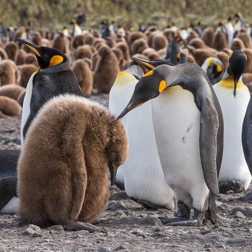 fuglavernd kingpenguin aptenodytespatagonicus