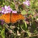 Gulf Fritillary Butterfly In My Garden 2015 - 02