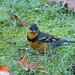 Varied Thrush with a tick under his left eye