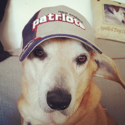 """""""My Mommy & Daddy went to the @patriots game yesterday and all they brought me was this stupid hat."""" #dogstagram #rescued #houndmix #instadog #patriots #gopats #adoptdontshop #ilovemydogs"""