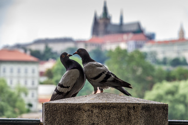 Czech Republic - Prague - Castle and Cathedral with pigeons