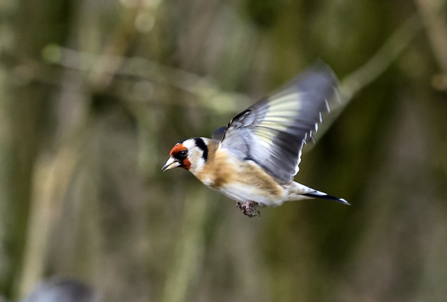 goldfinch 446 (5)