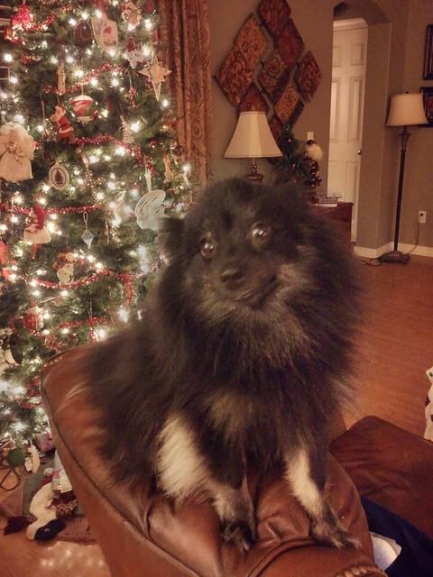 Rascal the Christmas Pom