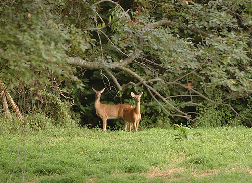 Two deer in a forest