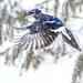 Blue Jay in a blizzard by Kathy~