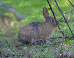 animal(1.0), prairie(1.0), hare(1.0), rabbit(1.0), domestic rabbit(1.0), pet(1.0), fauna(1.0), wood rabbit(1.0), rabits and hares(1.0), wildlife(1.0),