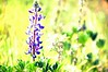Grape Soda Lupine (overexposed)