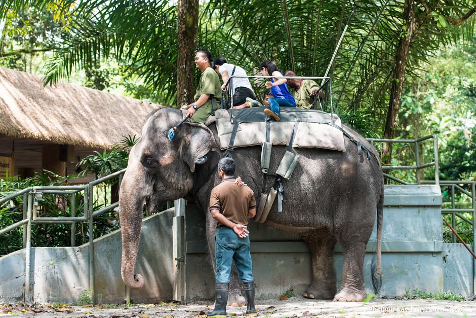 катание на слонах в сингапуре
