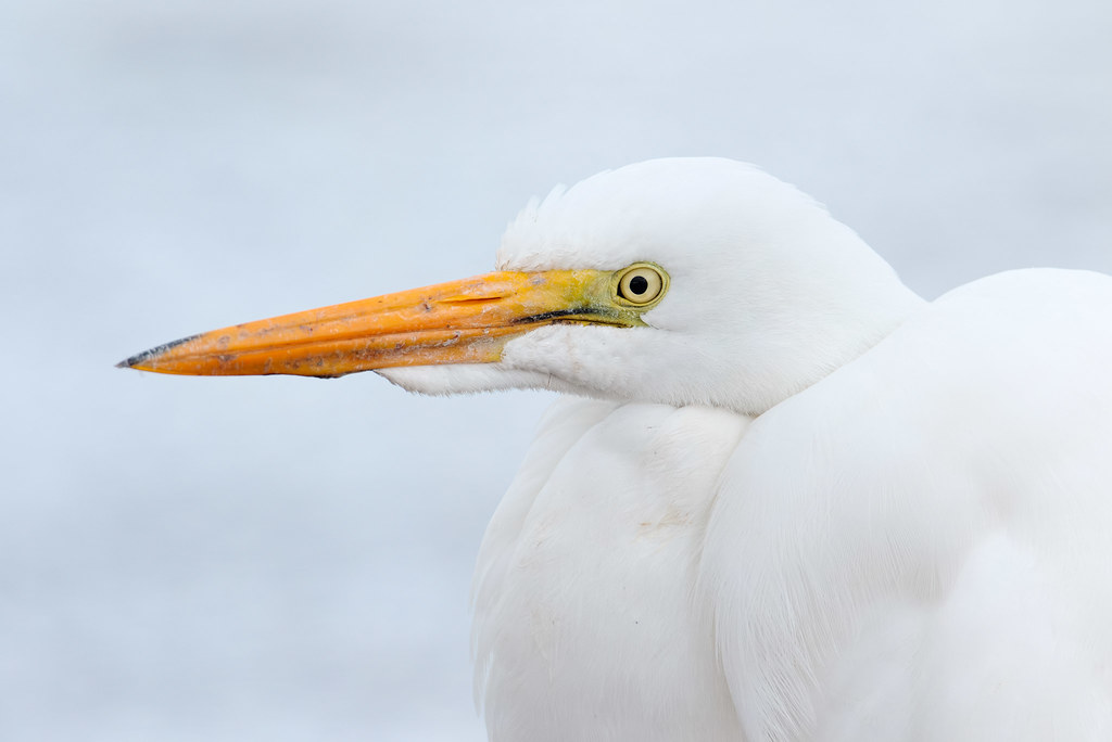 A close-up view of a great egret