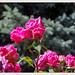 Private gardens/gaerten- Rosengarten R-NH